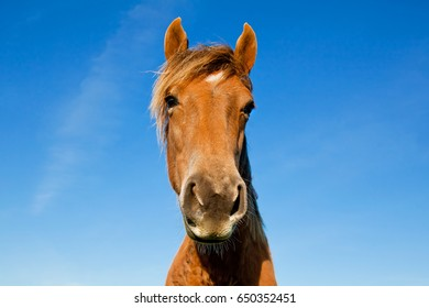 Wild horse Mustangs in the field. Beautiful redhead young horse closeup portrait on a background of blue sky.