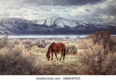 wild horse northern nevada free mount rose washoe valley winter eating grazing lake water sage brush desert clouds sky storm western country urban rural