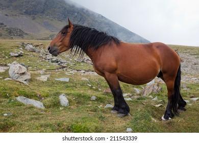 A wild horse on a mountain (Puigmal)