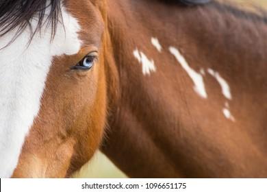 Wild Horse, Painted Mustang close up of beautiful blue eye.  Dayton, Nevada