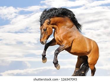 wild horse rears on white