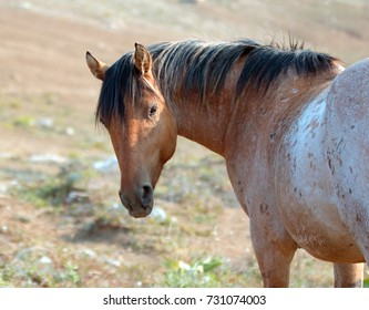 Wild Horse - Red Roan Stallion looking back in the Pryor Mountains Wild Horse Range in Montana United States