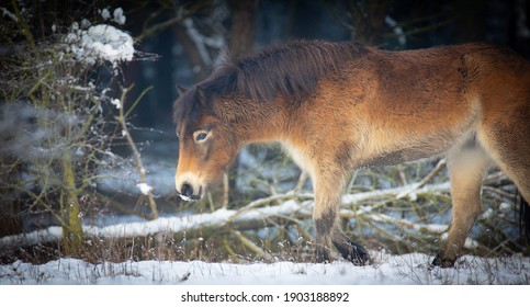 wild horse resting on a snow meadow, the best photo. - Shutterstock ID 1903188892