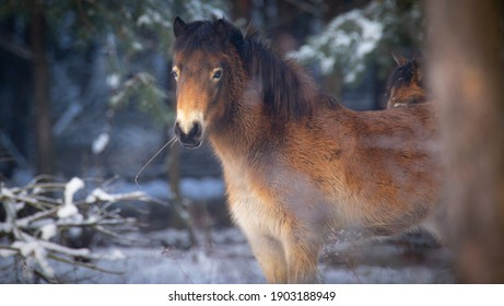 wild horse resting on a snow meadow, the best photo. - Shutterstock ID 1903188949