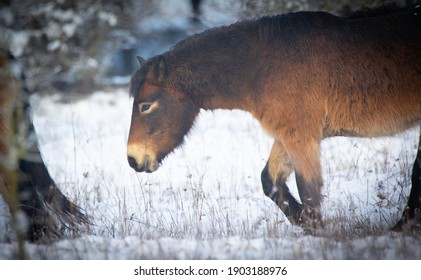 wild horse resting on a snow meadow, the best photo. - Shutterstock ID 1903188976