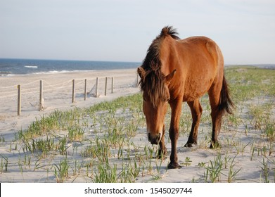 Wild horse roaming the sand dunes, Assateague Island, Worcester County, Maryland.