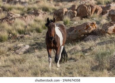 Wild Horse Stallion in the Utah Desert