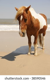 Wild Horse walking the Beach at Assateague Island, Maryland with the ocean in the background.