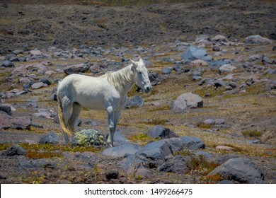 Wild horses in the Andes Mountains, wandering and grazing on fresh green field freely in the morning.