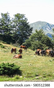 Wild horses in Aran valley in the Catalan Pyrenees, Spain. The main crest of Pyrenees forms a divide between France and Spain, with the microstate of Andorra sandwiched in between