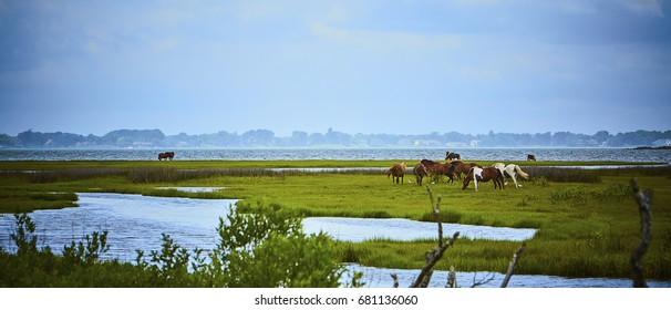 Wild horses of Assateague Island in Maryland