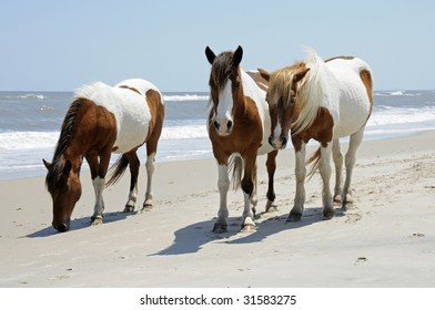 The wild horses of Assateague Islands roam free along the beach of this barrier island in Maryland. Visitors can walk along the shore and see these animals in their natural environment.