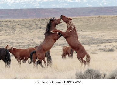 Wild Horses in battle over the lady