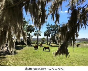 Wild horses beneath Spanish moss on Cumberland Island, Georgia