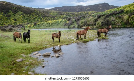 Wild horses by the river in the Kaimanawa mountain ranges with yellow lupin flowers, central plateau, New Zealand