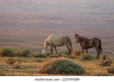 Wild Horses in the Colorado Desert in summer