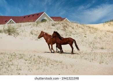 Les chevaux sauvages de Corolla sur les rives extérieures, en Caroline du Nord, se promènent librement sur la plage et le long de l'océan.  Les excursions à cheval sont une activité populaire pendant vos vacances à l'OBX.