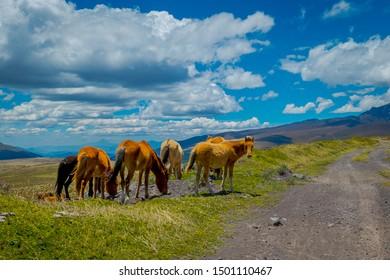 Wild Horses in the Cotopaxi National Park, in Ecuador
