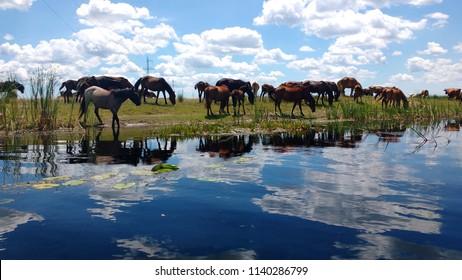 Wild horses in the Danube Delta, Romania