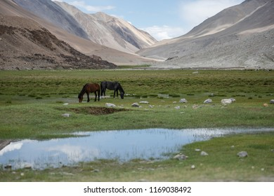Wild horses eating grass in higland plateau with mountain and sky background