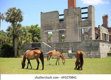 Wild Horses Eating near Ruins on Cumberland Island, Georgia