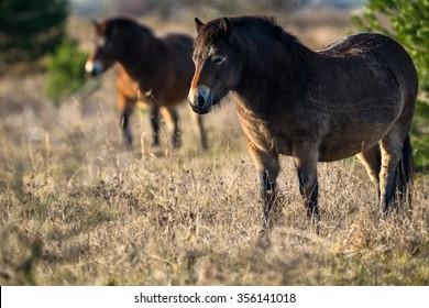 Wild horses the Exmoor pony in grassland.