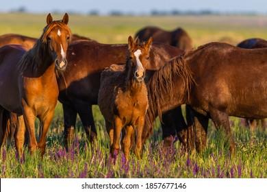Wild horses grazing in a field at sunrise - Shutterstock ID 1857677146