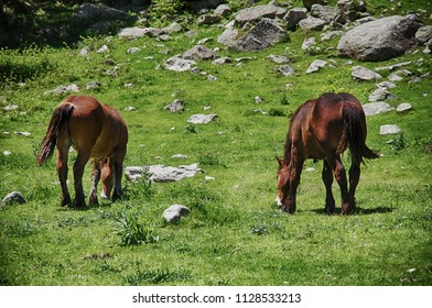 Wild horses grazing inside Aigues Tortes National Park in Spain.