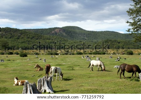 0901f8bfa Wild horses grazing in Tierra del Fuego National Park near Ushuaia,  Argentina
