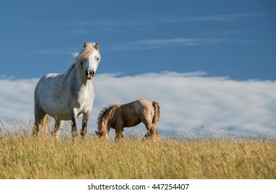 Wild Horses in Herefordshire
