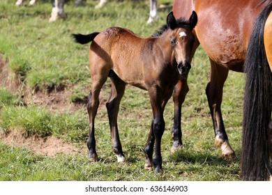 The wild horses of Livno