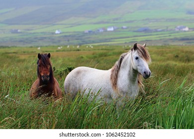 Wild horses in long grass in rural Ireland