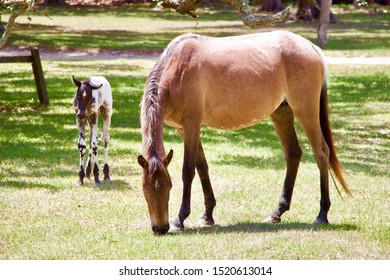 Wild horses - mare and new foal, Cumberland Island, Georgia - 1st May 2019