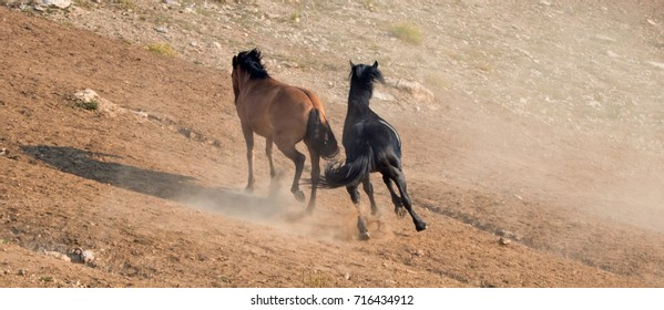 Wild Horses / Mustangs running before fighting in the Pryor Mountains Wild Horse Range on the state border of Wyoming and Montana United States