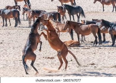 Wild horses of the Namib fighting at Garub near Aus