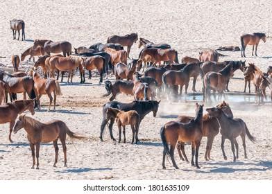 Wild horses of the Namib at Garub near Aus