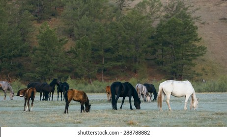 Wild horses in the nature reserve of Lake Baikal. Horses owned by a local farm . Farm closed. Horses walk by themselves .