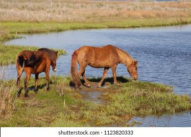 Wild Horses on the Assateague Island National Seashore