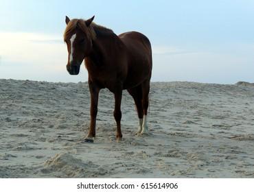 wild horses on the beach, Assateague island, USA