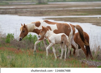 Wild horses on the Chincoteague, VA end of Assateague Island