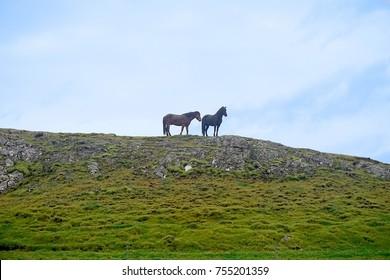 Wild horses on hill near Fludir