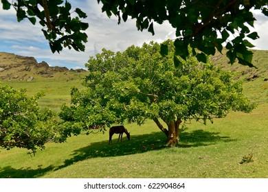 Wild horses on Moai statues territory in the Rano Raraku Volcano in Easter Island, Chile
