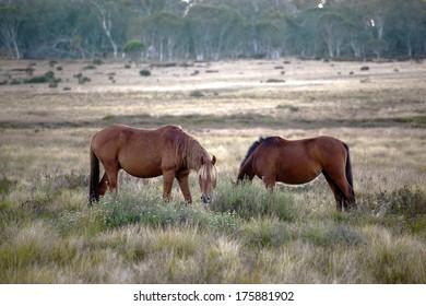 wild horses on the open plain