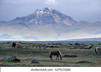Wild horses on a plain below a snow dusted peak in Cotopaxi National Park, Ecuador