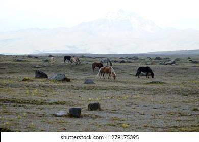 Wild horses on a plain in Cotopaxi National Park, Ecuador