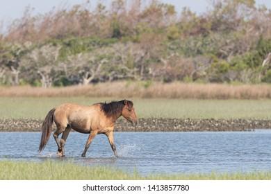 Wild Horses on the Rachel Carson National Wildlife Refuge of the Coast near Beaufort, North Carolina