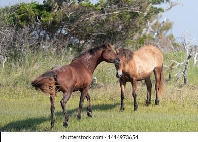 Wild Horses on the Rachel Carson Reserve of the Coast near Beaufort, North Carolina