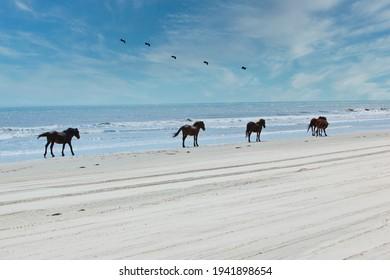 Des chevaux sauvages sillonnent les plages de Corolla sur les rives extérieures de la Caroline du Nord.