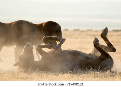 Wild horses rolling on the ground in the desert