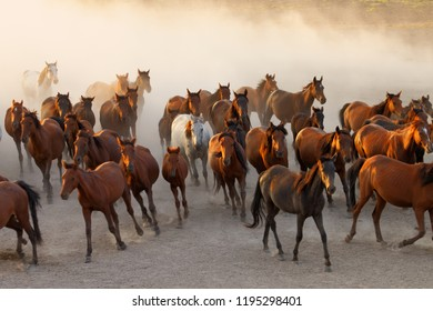 Wild horses running at sunset
